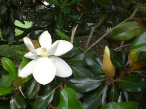 Magnolia Grandiflora - Clearwater FL
